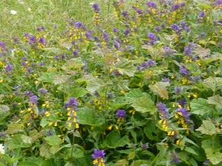 Romania - wildflowers 1