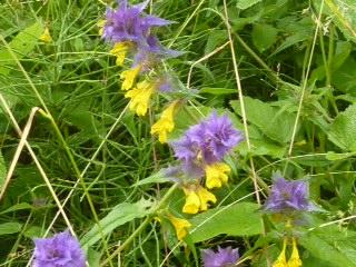 Romania - wildflowers 2
