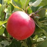 Comrie Community Orchard & Apple Day