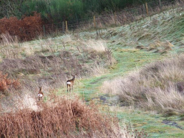 Deer on the track to the Dam